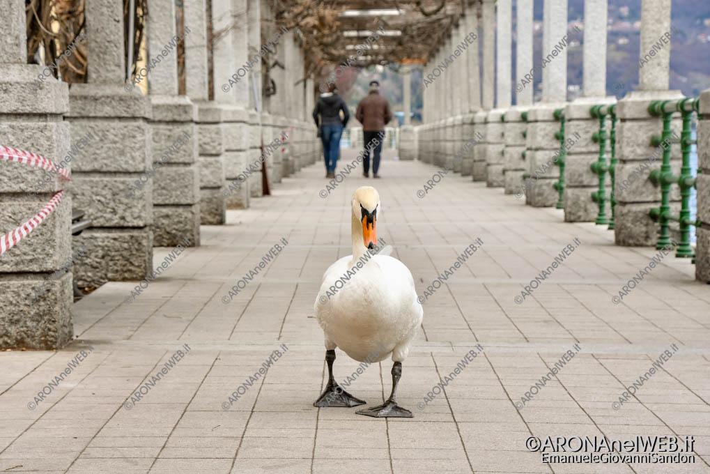 EGS2019_06349 | Il cigno Alfredo a passeggio sul lungolago